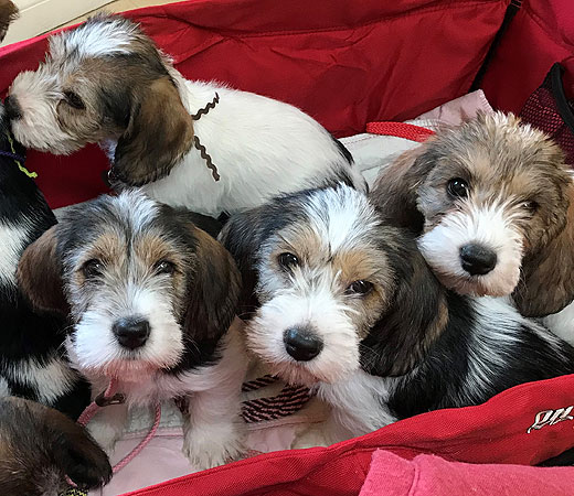Grand-Voile Puppies